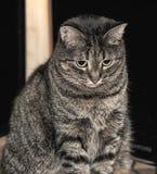 Nette Katze der getigerten Katze Stockfotos