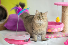 Nette Katze der getigerten Katze mit vielen Spielwaren Stockbild