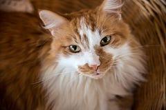 Nette Katze der Ingwergetigerten katze, die im Weidenwäschekorb oben betrachtet Kamera sitzt stockfotografie
