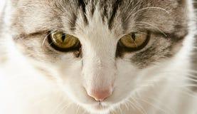 Nette Katze der Schwarzweiss-Farbe mit gelben Augen ist nah wa stockbild