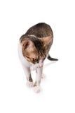 Nette Katze, die auf weißem Hintergrund steht und unten schaut lizenzfreies stockbild