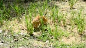 Nette Katze, die Insekt im Gras jagt stock footage
