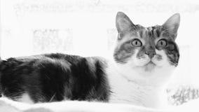 Nette Katze, die neugierig ist, die Kamera betrachtend Schwarzweiss stock video