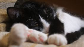 Nette Katze gedeiht in einem Stuhl im Raum, in der Nahaufnahme von Augen und in den Tatzen üppig stock video