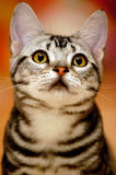 Nette Katze mit neugierigem Blick Stockbild
