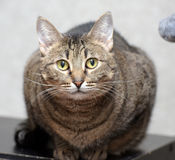 Nette Katze shorthair der getigerten Katze Stockbilder