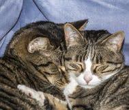 Nette Katzen, die auf einem Sofa schlafen Lizenzfreie Stockbilder