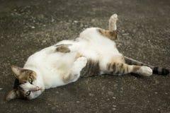 Nette Katzenlüge Lizenzfreies Stockfoto