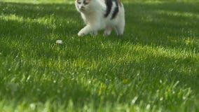 Nette Katzenwege auf dem grünen Gras stock video