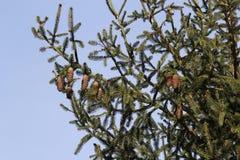 Nette kegel op een boom stock afbeeldingen