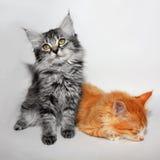 Nette kleine Miezekatze zwei Lizenzfreie Stockbilder