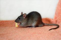 Nette kleine Ratte, die Käse isst stockfoto
