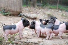 Nette kleine Schweine Stockfoto