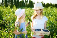 Nette kleine Schwestern, die frische Beeren auf organischem Blaubeerbauernhof am warmen und sonnigen Sommertag auswählen Neues ge lizenzfreies stockfoto