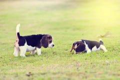 Nette kleine Spürhunde Lizenzfreie Stockfotografie