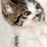 Nette kleine weiße Katze der getigerten Katze stockfotografie