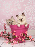 Nette knuddelige Flickenpuppekätzchenkatzen lizenzfreie stockfotografie