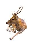 Nette kopierte Stellenrotwild der Rotwild lokalisiert auf weißem Hintergrund Lizenzfreies Stockbild