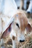 Nette Kuh Stockfoto