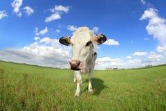 Nette Kuh auf Weidenabschluß oben über Weitwinkel Stockfotografie