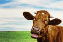 Nette Kuh an der Wiese Selektiver Fokus stockbild