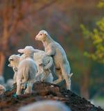 Nette Lämmer, die im Frühjahr am Bauernhof spielen Lizenzfreies Stockfoto