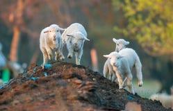 Nette Lämmer, die im Frühjahr an der Zeit des Bauernhofes laufen Lizenzfreie Stockfotos