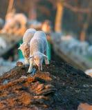 Nette Lämmer, die im Frühjahr an der Zeit des Bauernhofes laufen Stockbild