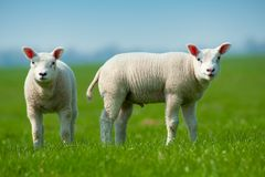 Nette Lämmer im Frühjahr stockfoto