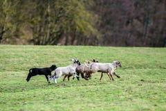 Nette Lämmer mit erwachsenen Schafen auf dem Wintergebiet Lizenzfreies Stockfoto