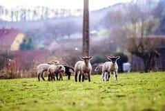 Nette Lämmer mit erwachsenen Schafen auf dem Wintergebiet Lizenzfreie Stockbilder