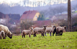 Nette Lämmer mit erwachsenen Schafen auf dem Wintergebiet Stockfoto