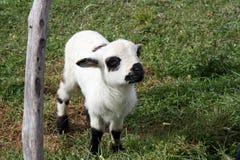 Nette junge Schafe stockfotografie