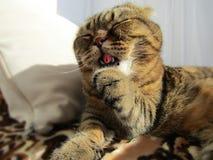 Nette lustige scottishfold Katzenzunge Stockbilder
