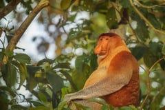 Nette männliche Nasenaffe (Nasalis larvatus) sitzend auf einem Baum Lizenzfreie Stockfotos