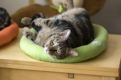 Nette Marmorkatze im lindgrünen Katzenbett bitten um Aufmerksamkeit und versuchend, das netteste Haustier, Blickkontakt zu sein Stockfoto