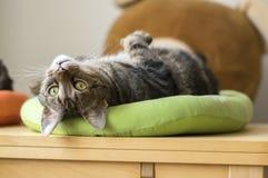 Nette Marmorkatze im lindgrünen Katzenbett bitten um Aufmerksamkeit und versuchend, das netteste Haustier, Blickkontakt zu sein Stockbilder