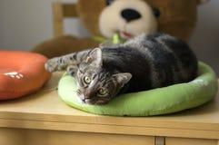 Nette Marmorkatze im lindgrünen Katzenbett bitten um Aufmerksamkeit und versuchend, das netteste Haustier, Blickkontakt zu sein Lizenzfreie Stockfotografie