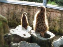 Nette meerkats im Zoo lizenzfreies stockfoto