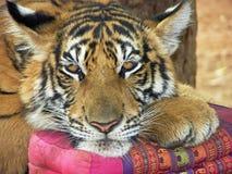 Nette Miezekatze! Tiger, der auf Kissen stillsteht. Lizenzfreies Stockfoto
