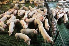 Nette neugeborene Ferkel, die auf einer industriellen Farm der Tiere leben Stockfotos