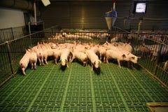 Nette neugeborene Ferkel, die auf einer industriellen Farm der Tiere leben Lizenzfreies Stockfoto