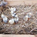 Nette neugeborene Küken in einer Holzkiste stockfotos