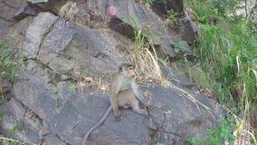 Nette neugierige Affen, die auf dem Rock in Ella, Sri Lanka spielen stock video footage