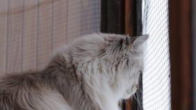 Nette Neva Masquerade-Katze, die aus dem Fenster heraus nach Hause zuhause genießt Schnee und Vögel im Winter schaut stock video
