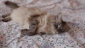 Nette Neva Masquerade-Katze, die zu Hause auf einem Bett schläfrig zuhause fühlend liegt stock video footage