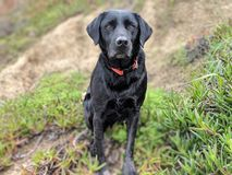 Nette Ohren schicken schwarzes Labrador auf dem Strandhügel nach, der Kamera mit Küstenlinienanlagen im Hintergrund betrachtet stockfotos