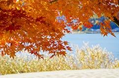 Nette orange Ahorne stockbilder