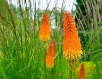 Nette orange Blumen und grünes Gras im Hintergrund Stockbild