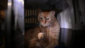 Nette orange gestreifte Katze eingeschlossen in einem Plastikhaustierkäfig stock video